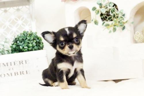 チワワ(ロング)の子犬(ID:1255411576)の2枚目の写真/更新日:2017-03-13
