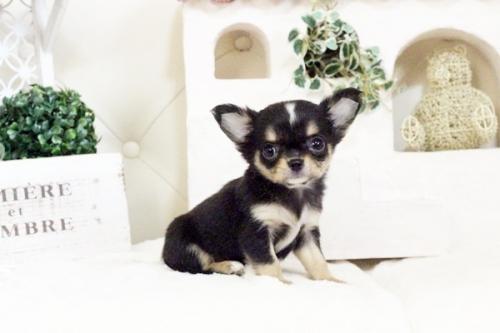 チワワ(ロング)の子犬(ID:1255411576)の3枚目の写真/更新日:2017-03-13