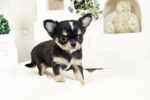 チワワ(ロング)の子犬(ID:1255411576)の4枚目の写真/更新日:2017-03-13