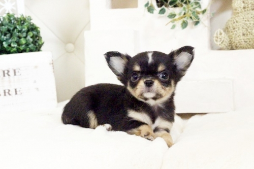 チワワ(ロング)の子犬(ID:1255411576)の5枚目の写真/更新日:2017-03-13