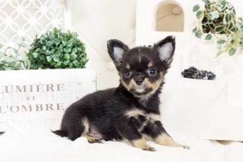 チワワ(ロング)の子犬(ID:1255411577)の1枚目の写真/更新日:2017-03-13