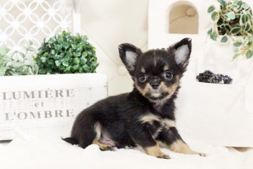 チワワ(ロング)の子犬(ID:1255411577)の2枚目の写真/更新日:2017-03-13
