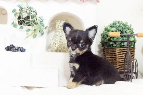チワワ(ロング)の子犬(ID:1255411577)の3枚目の写真/更新日:2017-03-13