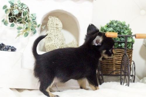 チワワ(ロング)の子犬(ID:1255411577)の4枚目の写真/更新日:2017-03-13