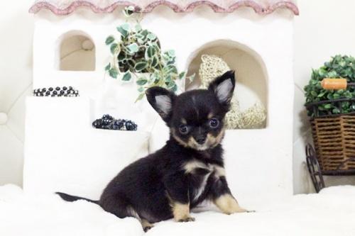 チワワ(ロング)の子犬(ID:1255411577)の5枚目の写真/更新日:2017-03-13