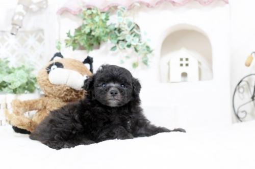 トイプードルの子犬(ID:1255411578)の1枚目の写真/更新日:2017-03-17