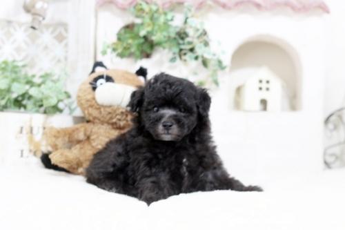 トイプードルの子犬(ID:1255411578)の2枚目の写真/更新日:2017-03-17