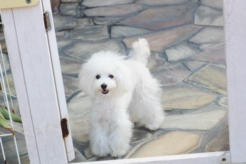 トイプードルの子犬(ID:1255411579)の2枚目の写真/更新日:2017-03-17