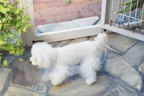 トイプードルの子犬(ID:1255411579)の3枚目の写真/更新日:2017-03-17
