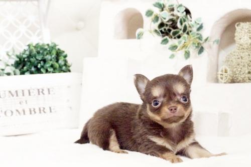 チワワ(ロング)の子犬(ID:1255411580)の1枚目の写真/更新日:2017-03-17