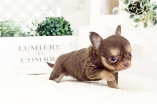 チワワ(ロング)の子犬(ID:1255411580)の2枚目の写真/更新日:2017-03-17