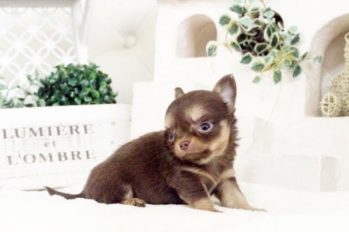 チワワ(ロング)の子犬(ID:1255411580)の3枚目の写真/更新日:2017-03-17