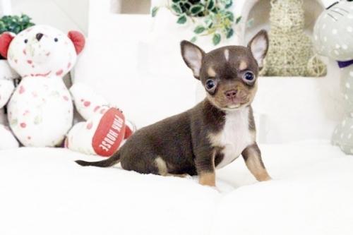 チワワ(スムース)の子犬(ID:1255411581)の1枚目の写真/更新日:2017-03-17