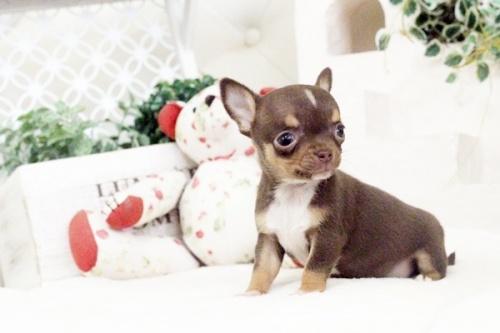 チワワ(スムース)の子犬(ID:1255411581)の2枚目の写真/更新日:2017-03-17