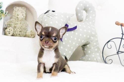 チワワ(スムース)の子犬(ID:1255411581)の3枚目の写真/更新日:2017-03-17