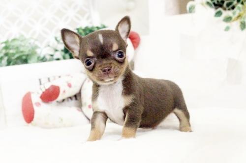 チワワ(スムース)の子犬(ID:1255411581)の5枚目の写真/更新日:2017-03-17