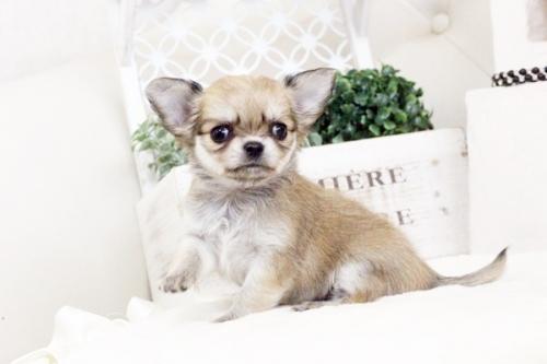 チワワ(ロング)の子犬(ID:1255411582)の1枚目の写真/更新日:2017-03-17