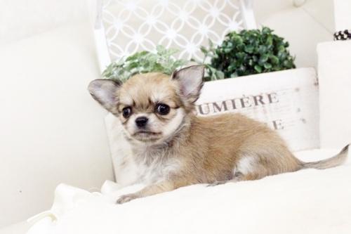 チワワ(ロング)の子犬(ID:1255411582)の2枚目の写真/更新日:2017-03-17