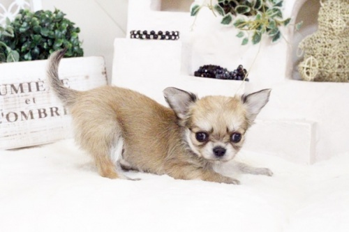 チワワ(ロング)の子犬(ID:1255411582)の4枚目の写真/更新日:2017-03-17