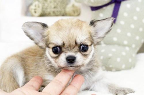 チワワ(ロング)の子犬(ID:1255411582)の5枚目の写真/更新日:2017-03-17