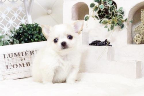 チワワ(ロング)の子犬(ID:1255411583)の1枚目の写真/更新日:2017-03-17