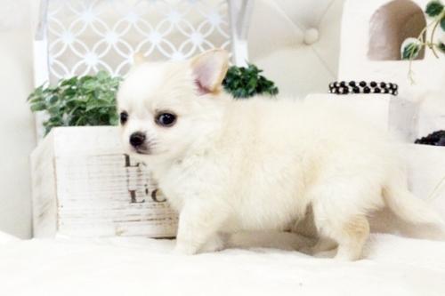 チワワ(ロング)の子犬(ID:1255411583)の2枚目の写真/更新日:2017-03-17