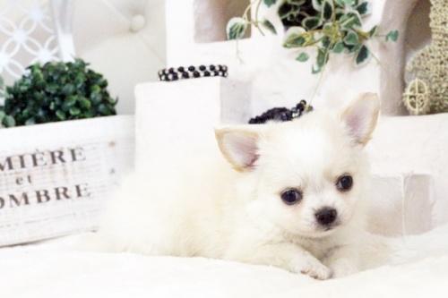 チワワ(ロング)の子犬(ID:1255411583)の3枚目の写真/更新日:2017-03-17