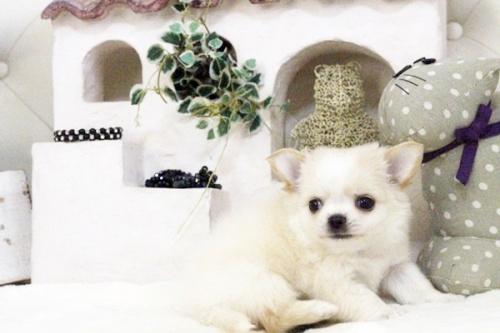 チワワ(ロング)の子犬(ID:1255411583)の4枚目の写真/更新日:2017-03-17