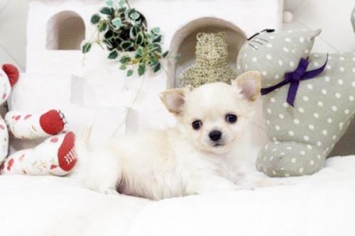 チワワ(ロング)の子犬(ID:1255411584)の2枚目の写真/更新日:2017-03-17