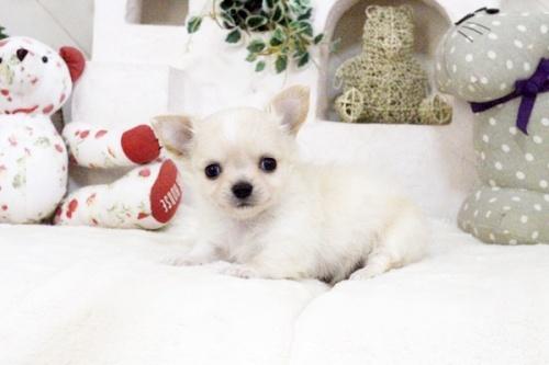 チワワ(ロング)の子犬(ID:1255411584)の3枚目の写真/更新日:2017-03-17