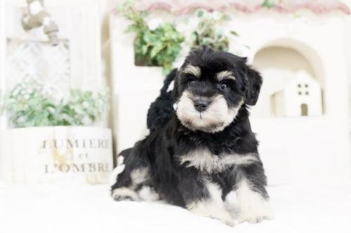ミニチュアシュナウザーの子犬(ID:1255411585)の1枚目の写真/更新日:2017-03-17