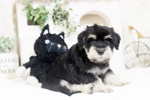 ミニチュアシュナウザーの子犬(ID:1255411585)の2枚目の写真/更新日:2017-03-17