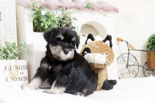 ミニチュアシュナウザーの子犬(ID:1255411586)の2枚目の写真/更新日:2017-03-17