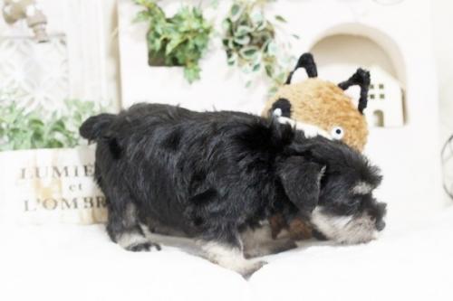 ミニチュアシュナウザーの子犬(ID:1255411586)の3枚目の写真/更新日:2017-03-17