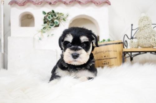ミニチュアシュナウザーの子犬(ID:1255411587)の1枚目の写真/更新日:2019-06-05