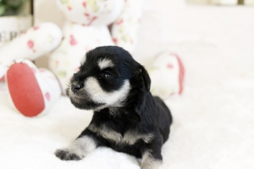 ミニチュアシュナウザーの子犬(ID:1255411587)の2枚目の写真/更新日:2019-06-05