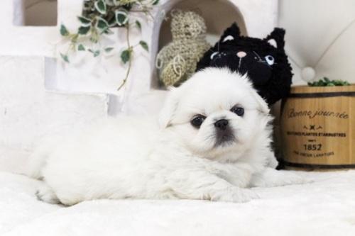 ペキニーズの子犬(ID:1255411588)の1枚目の写真/更新日:2017-03-25