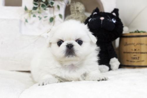ペキニーズの子犬(ID:1255411588)の2枚目の写真/更新日:2017-03-25