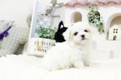 マルチーズの子犬(ID:1255411590)の1枚目の写真/更新日:2019-10-11