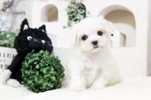 マルチーズの子犬(ID:1255411590)の4枚目の写真/更新日:2019-10-11