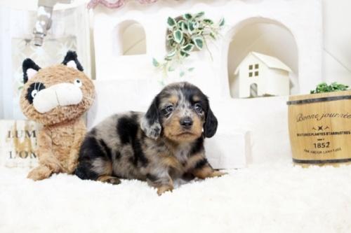 カニンヘンダックスフンド(ロング)の子犬(ID:1255411591)の1枚目の写真/更新日:2018-06-28