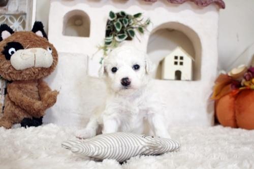 ビションフリーゼの子犬(ID:1255411592)の2枚目の写真/更新日:2017-03-31