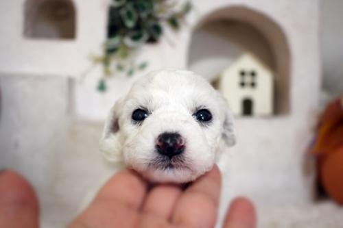 ビションフリーゼの子犬(ID:1255411592)の3枚目の写真/更新日:2017-03-31