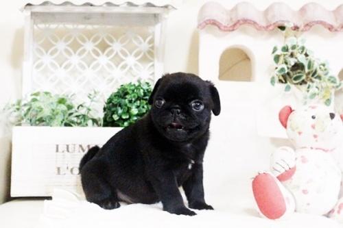 パグの子犬(ID:1255411593)の4枚目の写真/更新日:2017-03-31