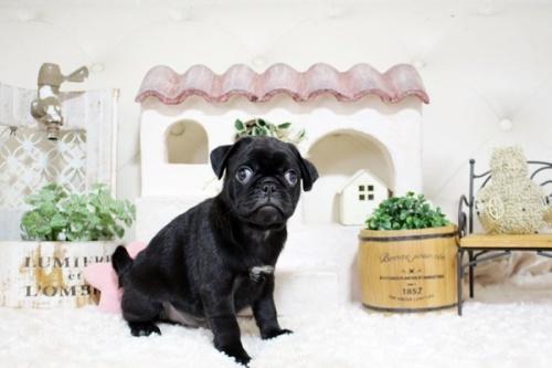 パグの子犬(ID:1255411594)の1枚目の写真/更新日:2017-03-31