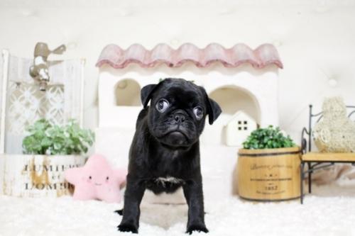 パグの子犬(ID:1255411594)の3枚目の写真/更新日:2017-03-31