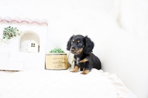 カニンヘンダックスフンド(ロング)の子犬(ID:1255411595)の1枚目の写真/更新日:2018-06-28