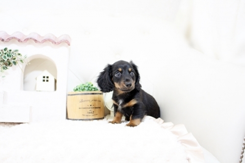カニンヘンダックスフンド(ロング)の子犬(ID:1255411595)の2枚目の写真/更新日:2017-03-31