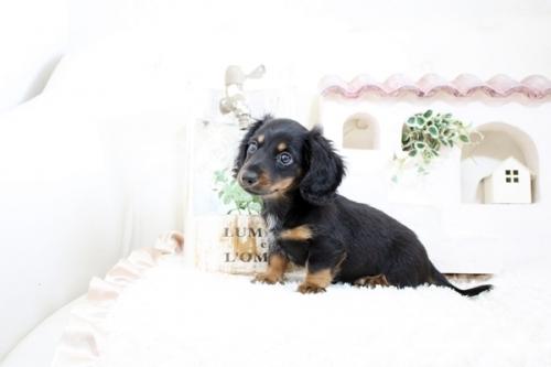 カニンヘンダックスフンド(ロング)の子犬(ID:1255411595)の3枚目の写真/更新日:2018-06-28