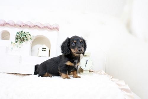 カニンヘンダックスフンド(ロング)の子犬(ID:1255411595)の4枚目の写真/更新日:2017-03-31